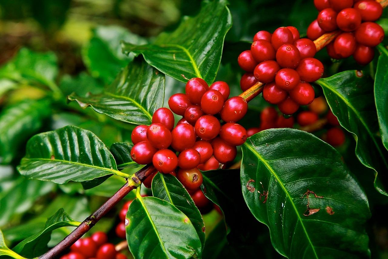 Coffee Statistics - Plant