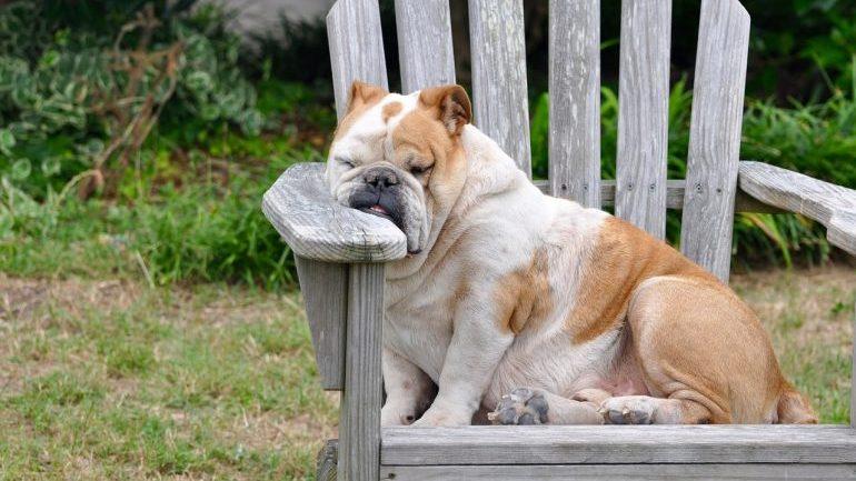 How Much Do Dogs Sleep - Bulldogs