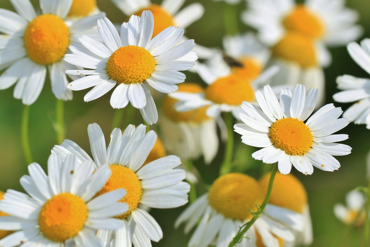 Essential Oils for Sleep - Chamomile