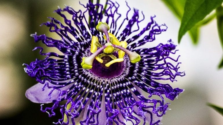 Restless Legs Syndrome Treatment - Passionflower
