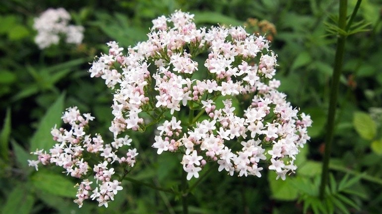 Natural Sleep Aid - Valerian